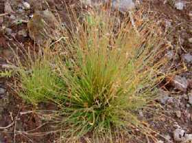 Lost sedge bulbostylis neglecta Saint Helena Island Info Endemic Species