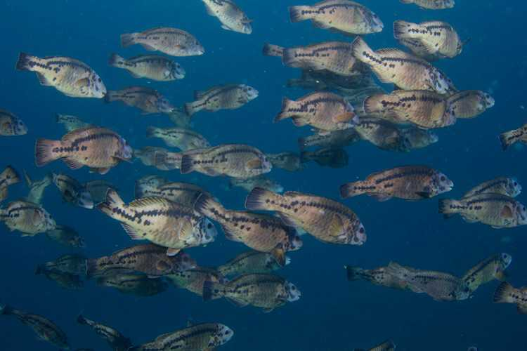 St Helena parrotfish, Long Ledge