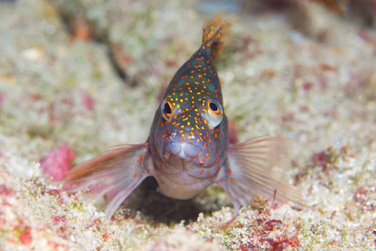 Hawkfish, near Cat Island