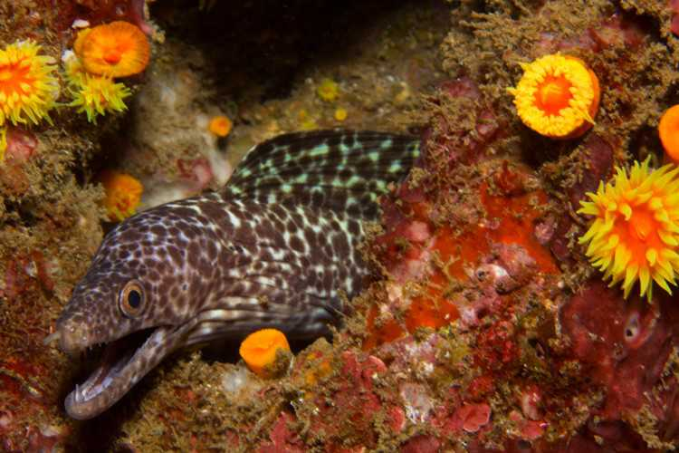 Moray, Munden's Point [Saint Helena Island Info:Diving]
