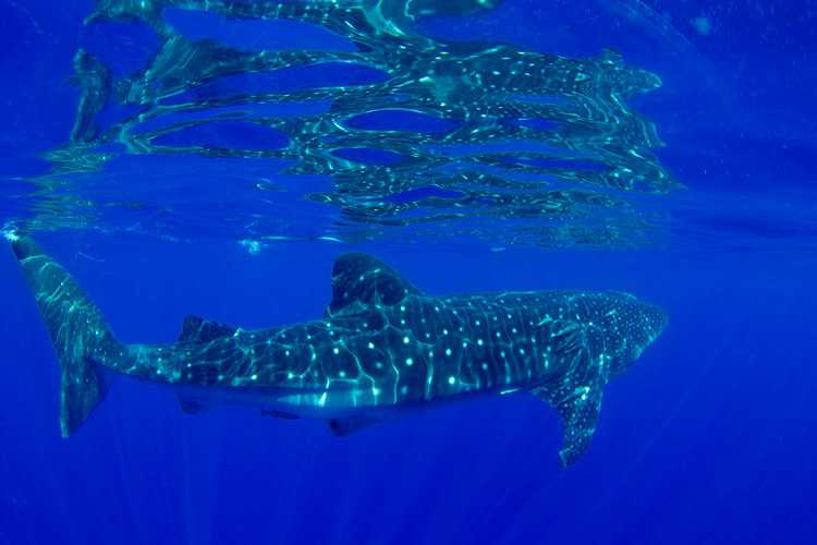 whale shark [Saint Helena Island Info:Diving]