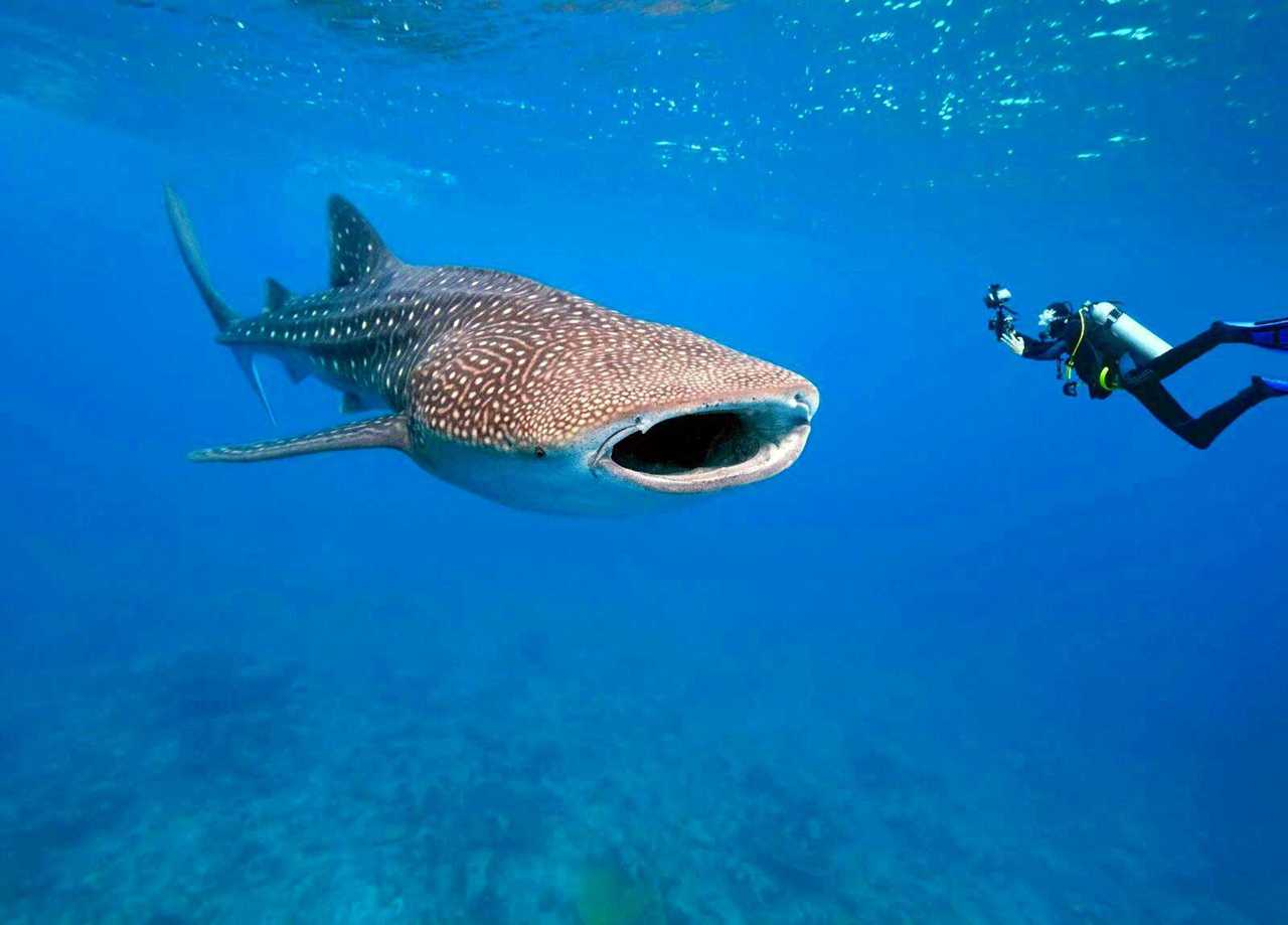 Image result for dive with whale sharks st helena