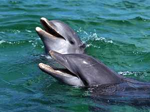 Dolphin group Saint Helena Island Info Dolphin watching