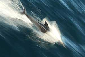 Dolphin speed Saint Helena Island Info Dolphin watching