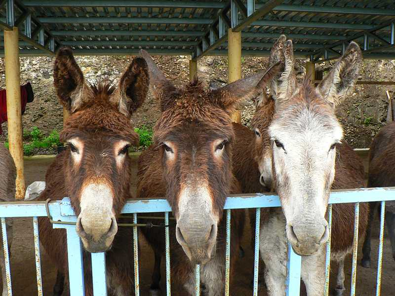 Donkeys in their shelter Saint Helena Island Info