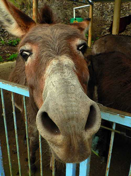 Donkey close-up Saint Helena Island Info Donkeys