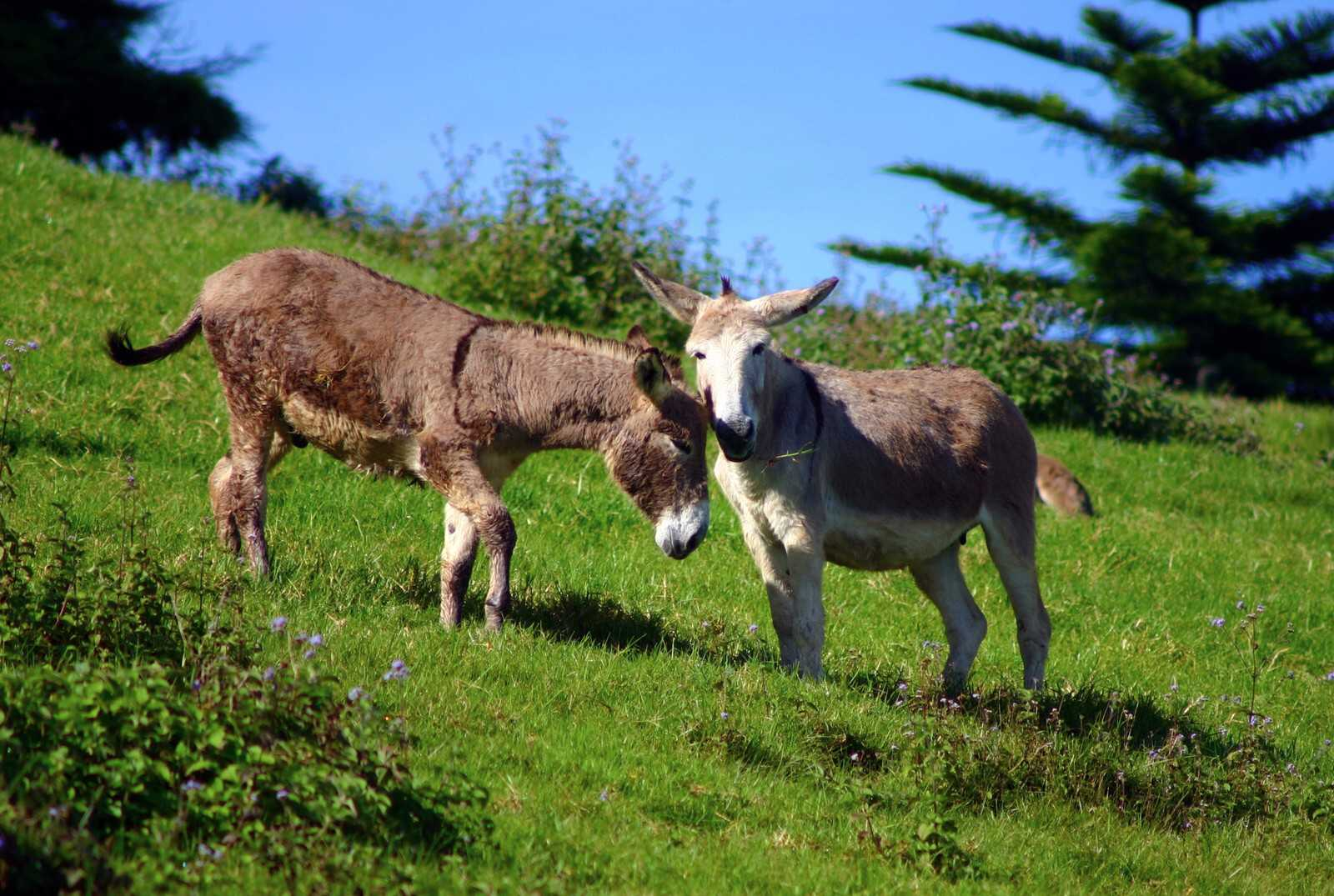 A pair exchange greetings Saint Helena Island Info Donkeys