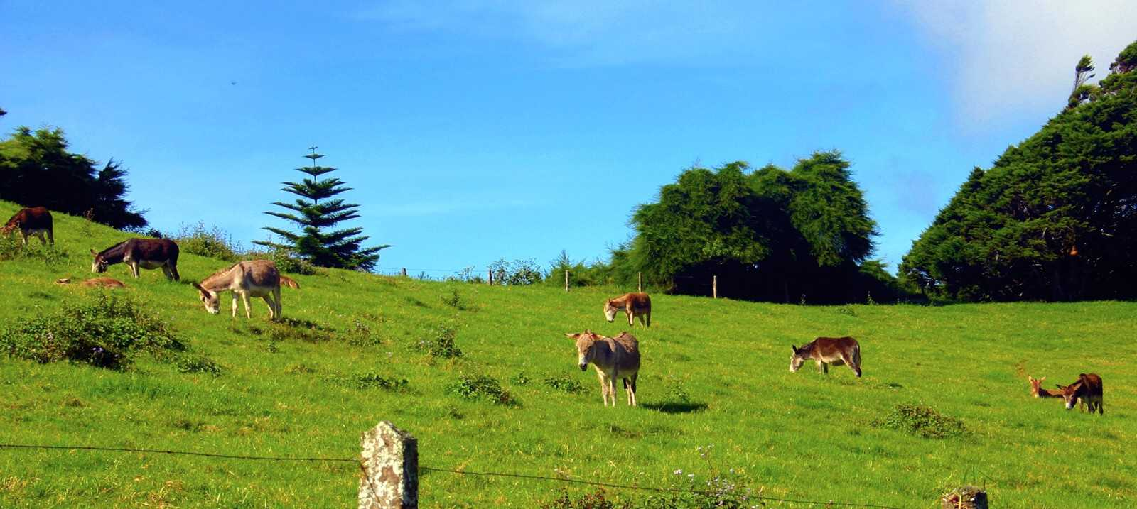 Group of donkeys in the field at Casons Saint Helena Island Info
