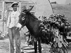 Heavily laden 1940s? Saint Helena Island Info Donkeys