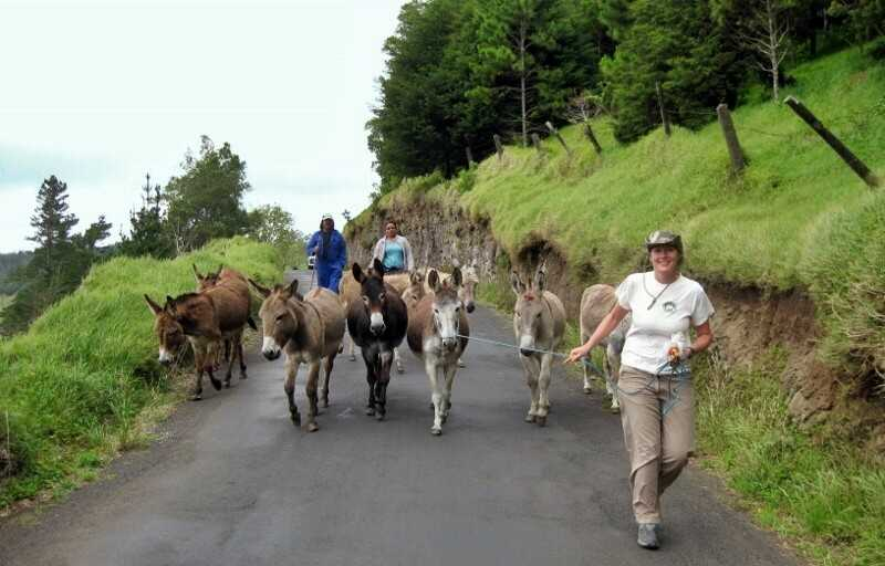 Donkeys being walked by the National Trust