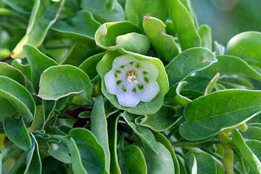Boxwood Saint Helena Island Info Endemic Species