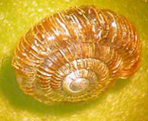 Ammonite snail Saint Helena Island Info Endemic Species