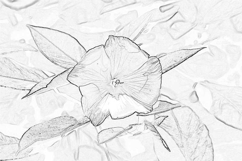 Line drawing of an Ebony Flower Saint Helena Island Info Endemic Species