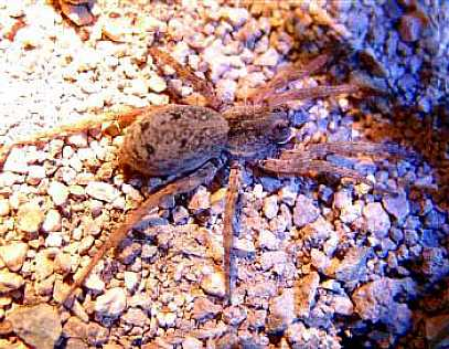 Wolf Spider on Prosperous Bay Plain Saint Helena Island Info Endemic Species