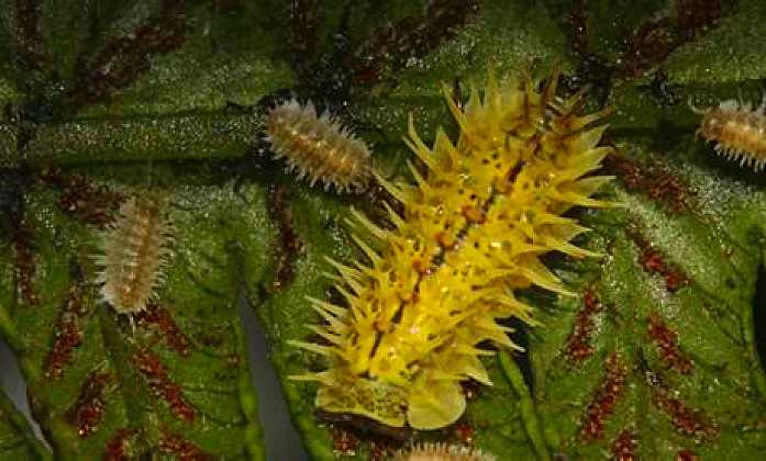 Spiky Yellow Woodlouse getting world famous [Saint Helena Island Info:Read articles about St. Helena (Older)]