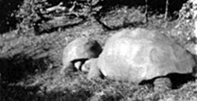 Jonathan and companion,1914 [Saint Helena Island Info:Jonathan the tortoise]