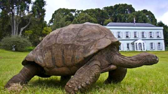 Jonathan the Tortoise at Plantation House [Saint Helena Island Info:Jonathan the tortoise]