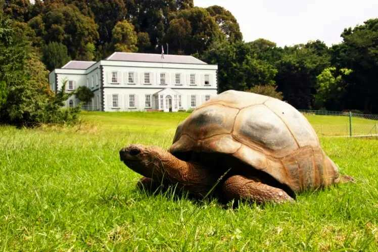 Jonathan (St Helena's oldest resident) and Plantation House [Saint Helena Island Info:Read articles about St Helena (Older)]