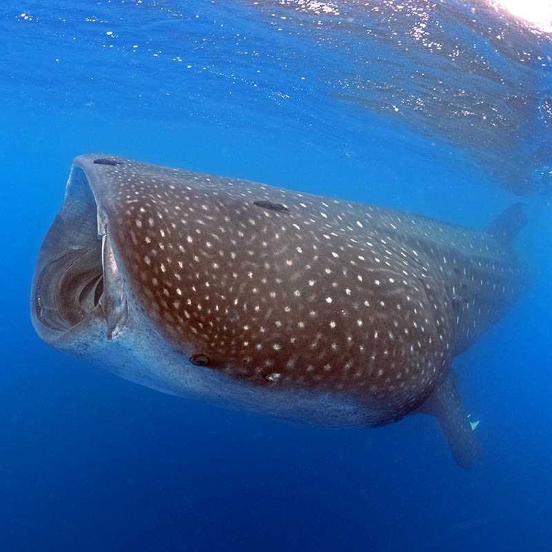 A whale shark swims in the waters off St Helena Island