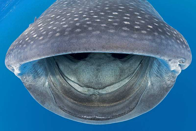 Up close with a whale shark in St Helena