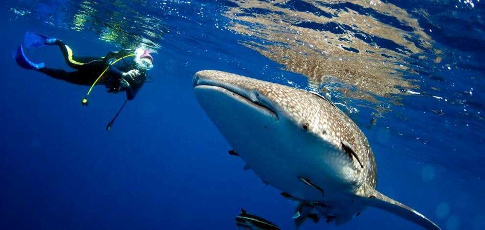 Swimming with whale sharks is not for everyone