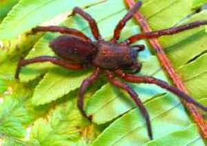 Peaks Burrowing Spider Saint Helena Island Info Endemic Species