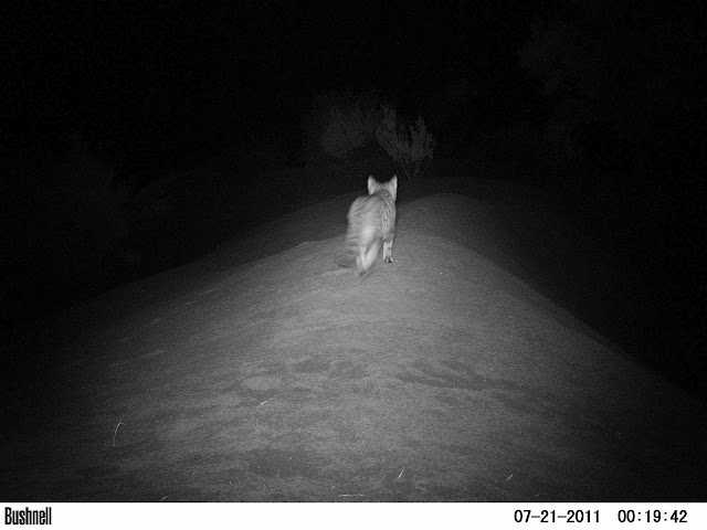 Caught in the act on a camera trap! [Saint Helena Island Info:The Wirebird]