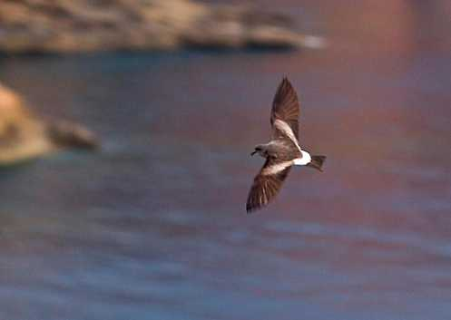 Storm Petrel Saint Helena Island Info Picture Gallery