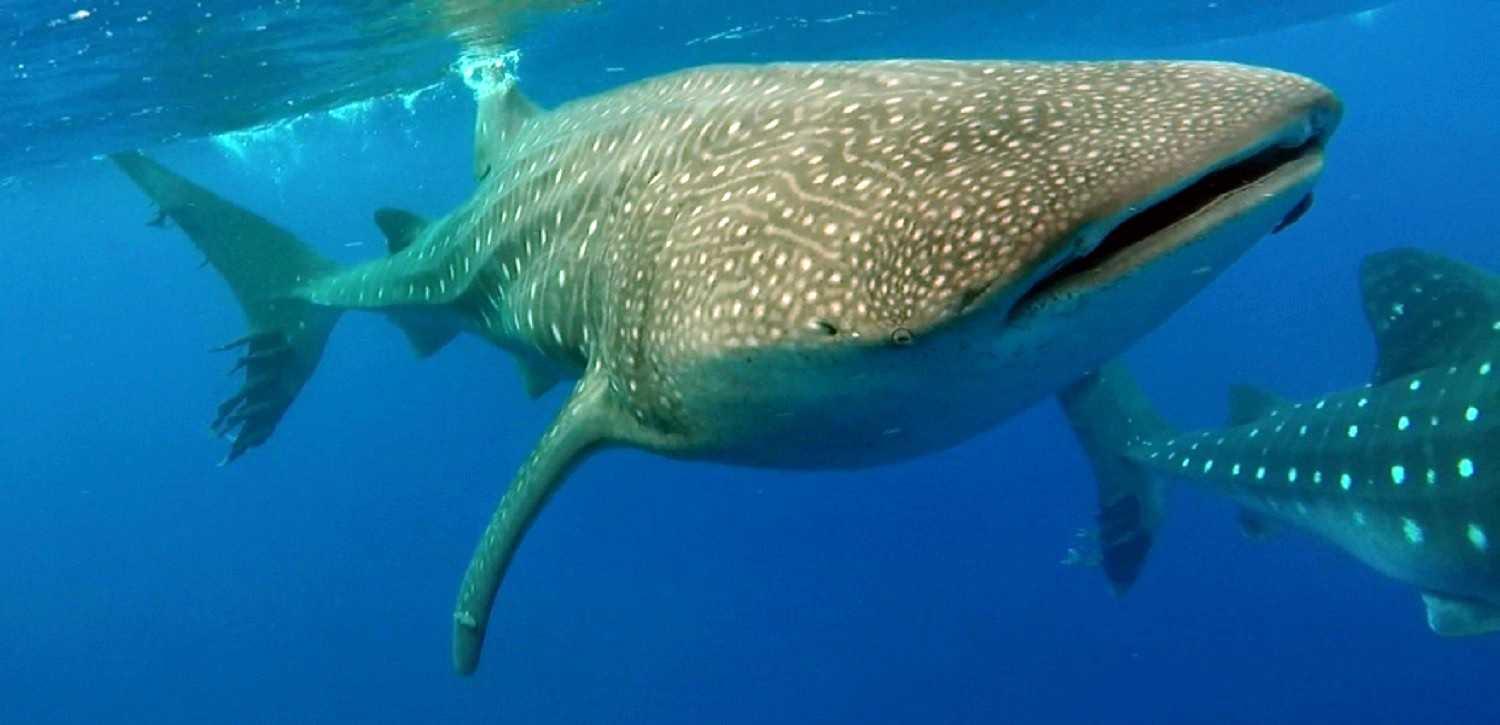 20,000 miles to swim with whalesharks 01