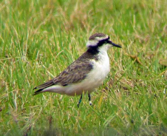 The Wirebird, or St Helena plover